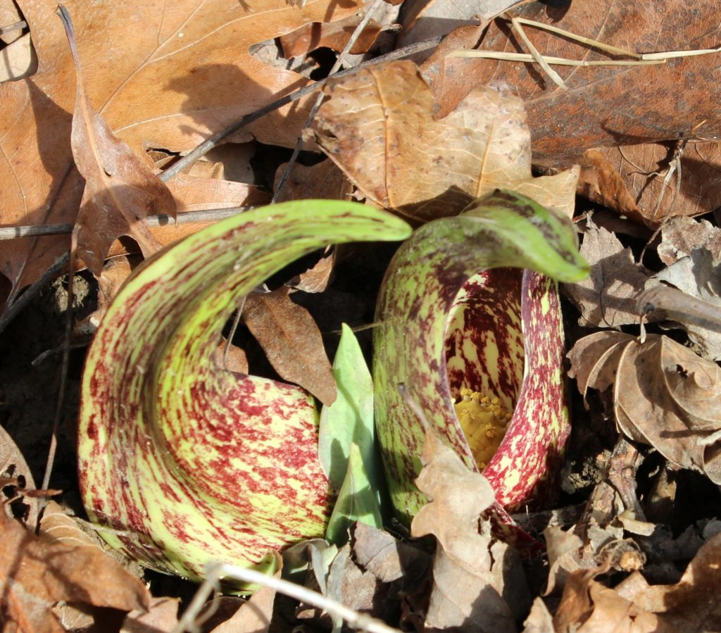 Skunk Cabbage Flowers on Spherical Spadix