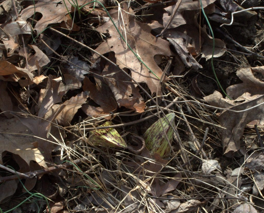 Skunk Cabbage Spathes Hiding