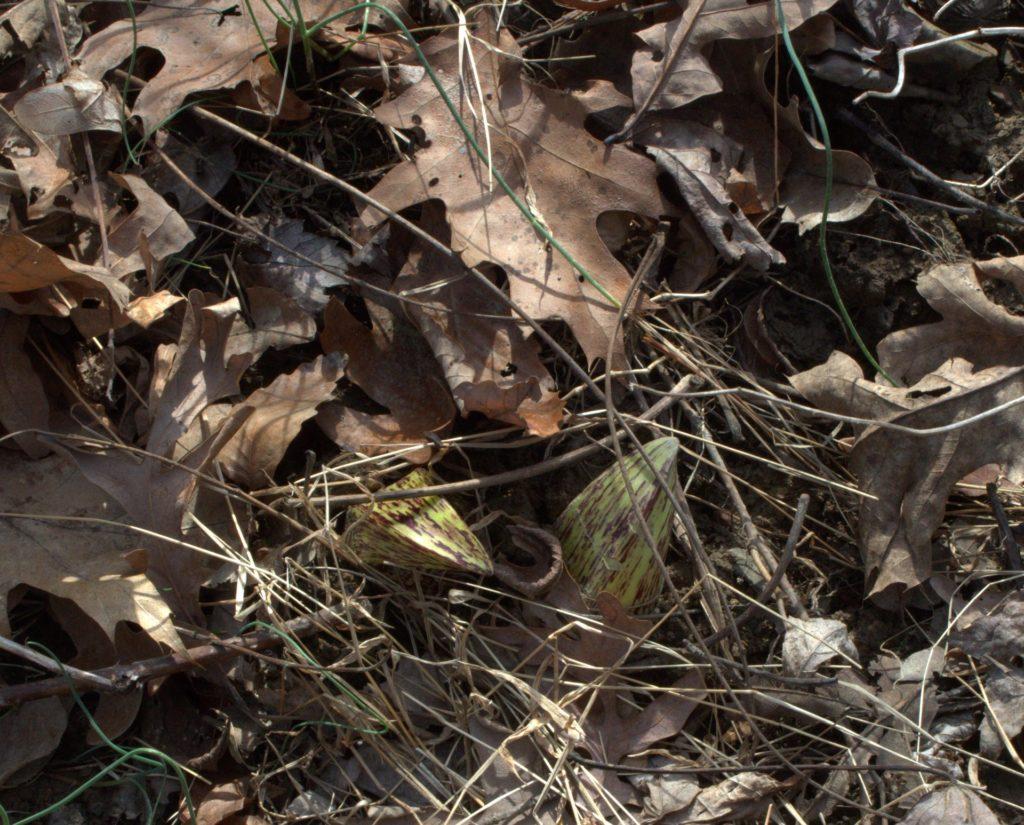 Skunk Cabbage Spathes Hiding