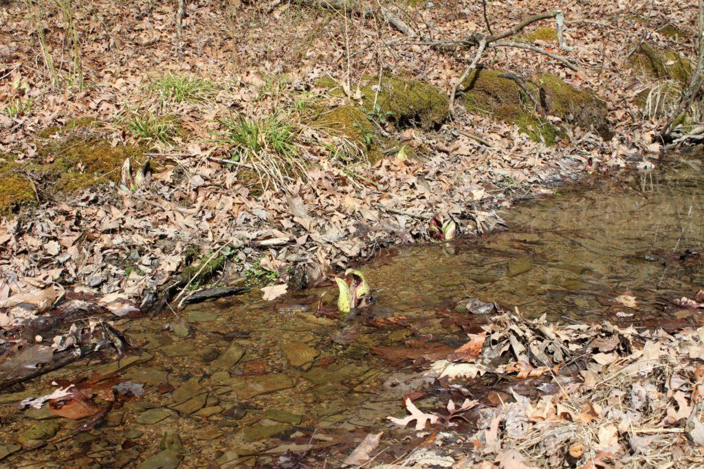 Streamside Skunk Cabbage
