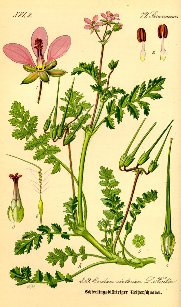 Illustration of Erodium cicutarium