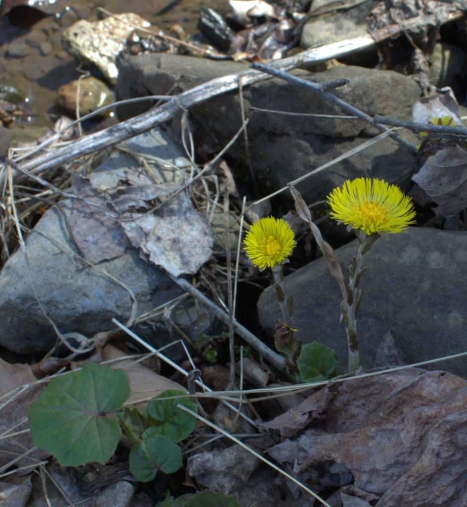 Coltsfoot Flowers With Leaves