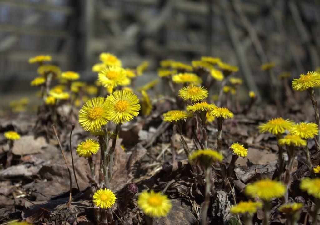 Flowering Coltsfoot Near the Spillway