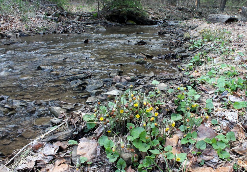 Creekside Coltsfoot Now Older