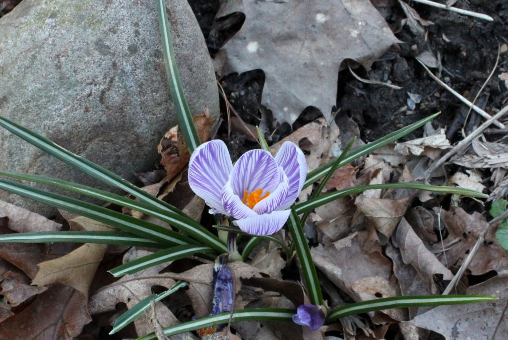 Crocus Blooming in the Garden