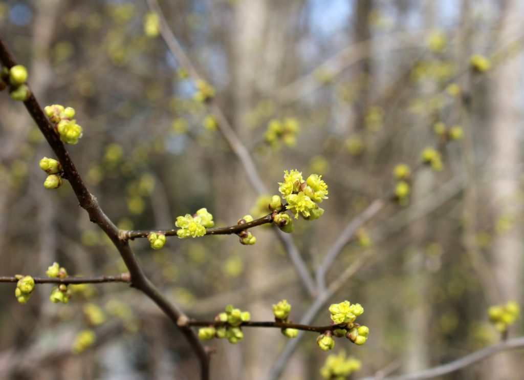 Many Spicebush Blooms Ready to Open