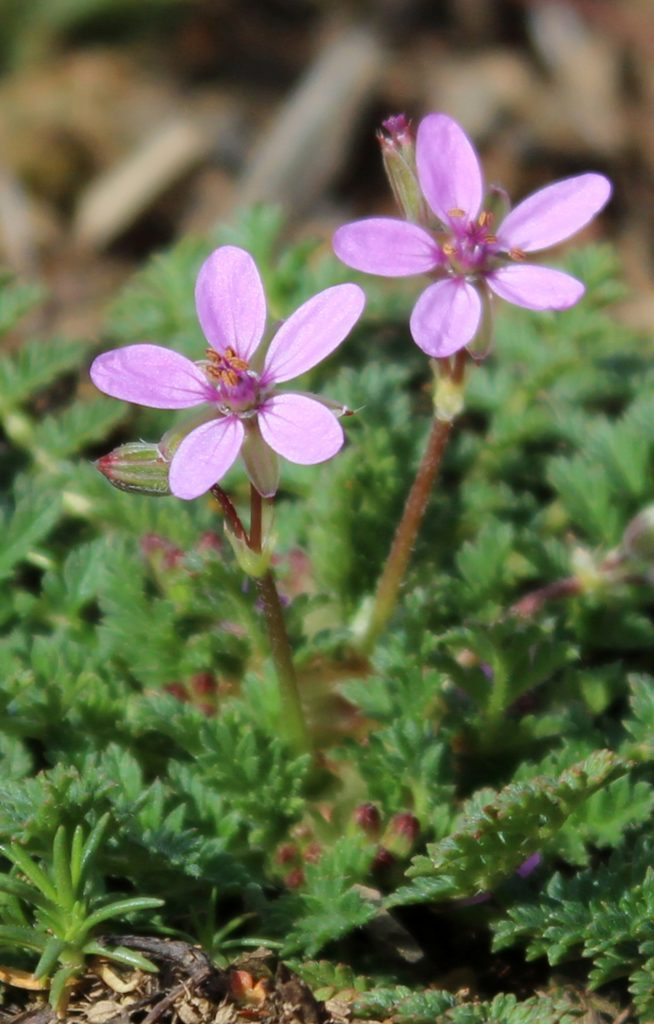 Closeup View of New Storksbill Flowers