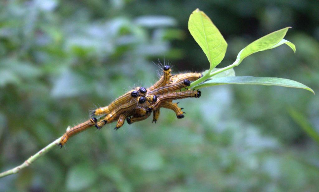 Yellowneck Caterpillars Gorging Themselves on Blueberry Leaves