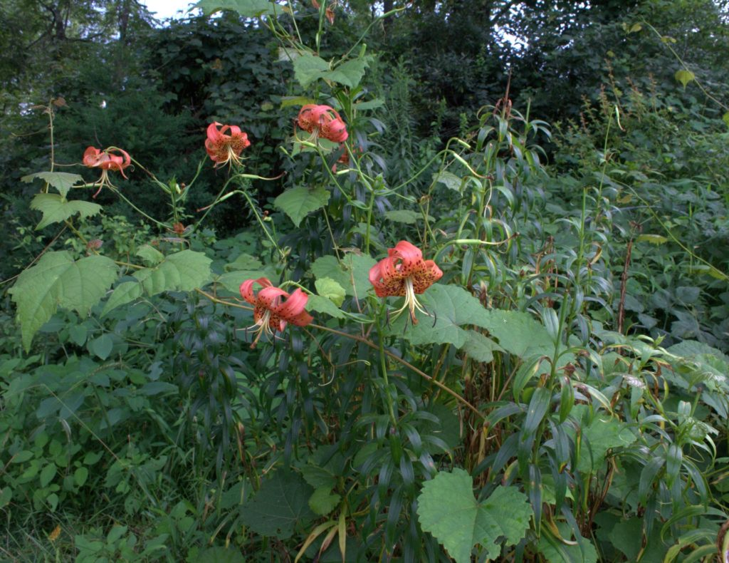 Turk's Cap Lily Grows Near the Red Bridge