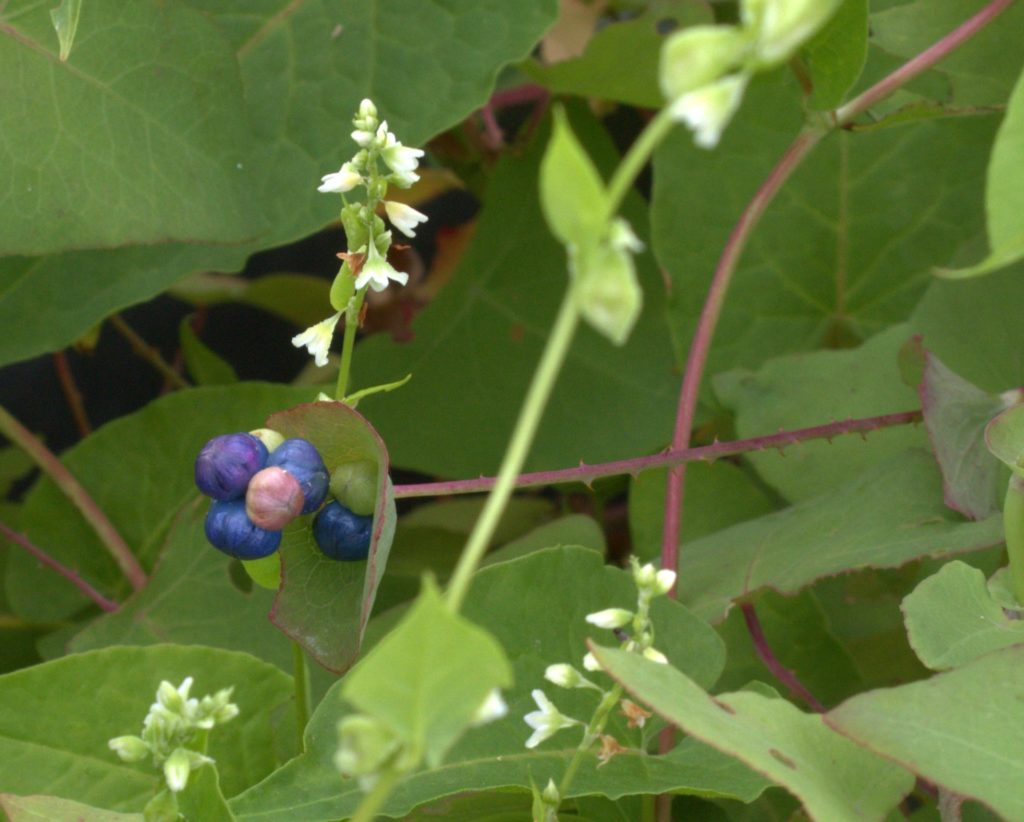 Blue berries of tearthumb and its small white bell-like flowers.
