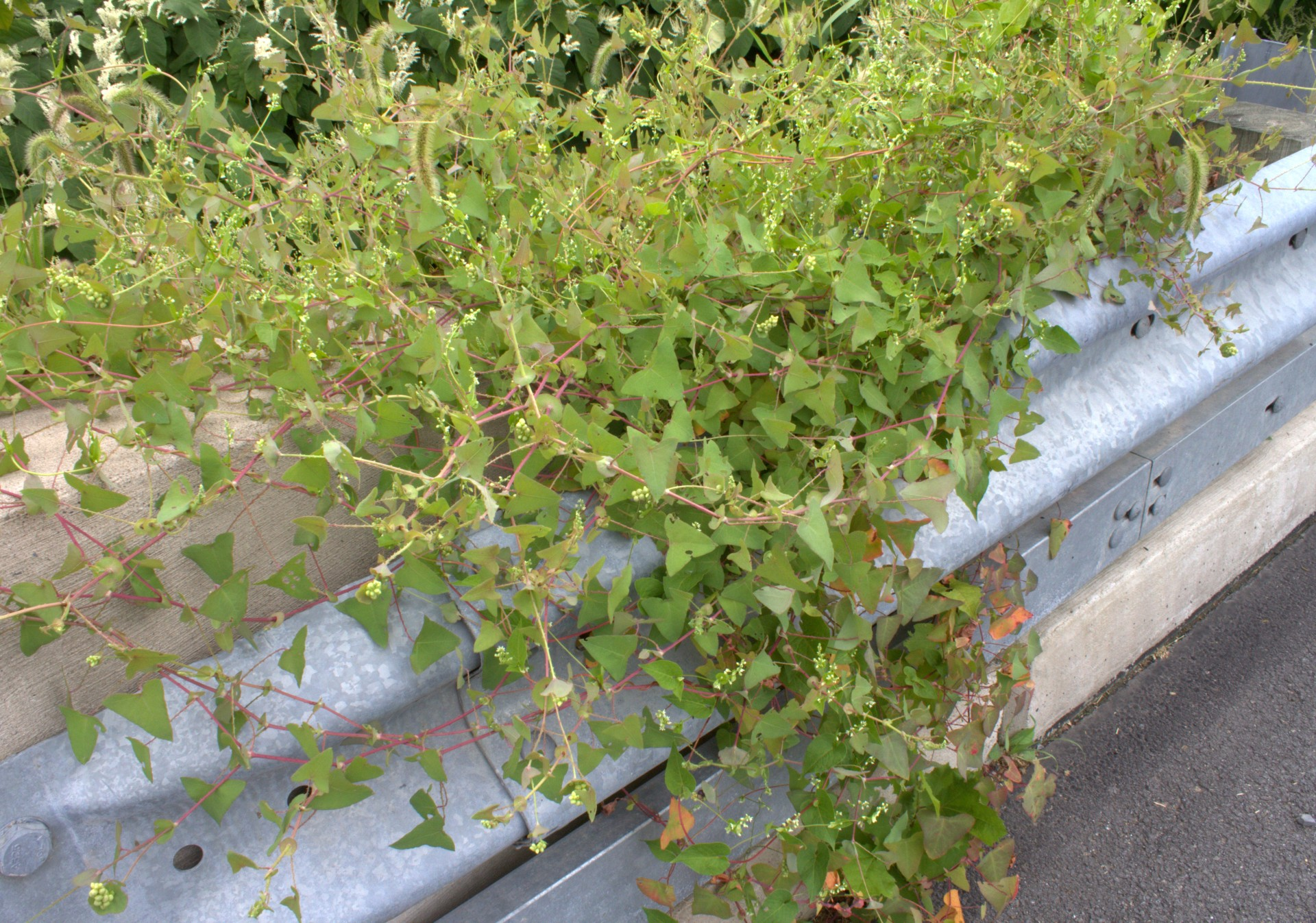 Triangle Vine Weed With Cool Blue Berries Wildeherb